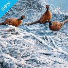 Pheasant Finery Christmas Cards - Pack Of 6