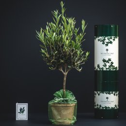 The Present Tree Olive Tree Gift