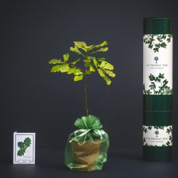 The Present Tree Irish Oak Tree Gift